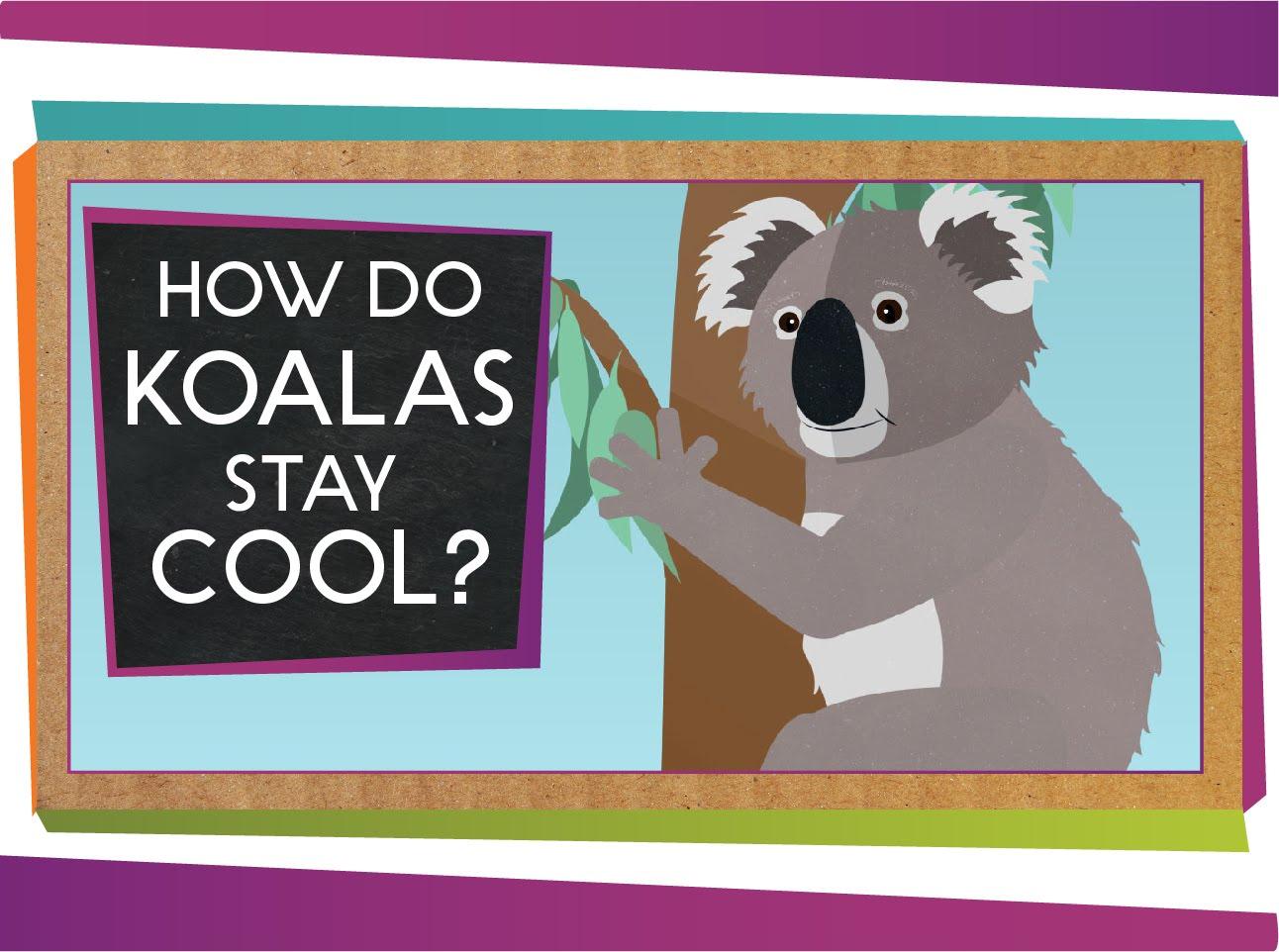 好熱啊!毛茸茸的無尾熊怎麼『涼涼』過日子?