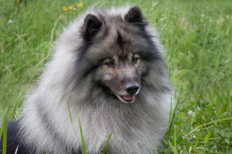 犬の高カルシウム血症【発症しやすい犬種】