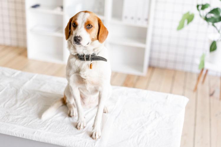 犬の低カルシウム血症【原因】
