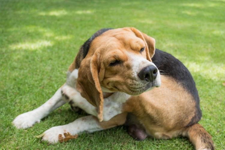 【獣医師監修】犬の「毛包虫症(ニキビダニ症・アカラス症)」原因や症状、治療法、予防対策は?