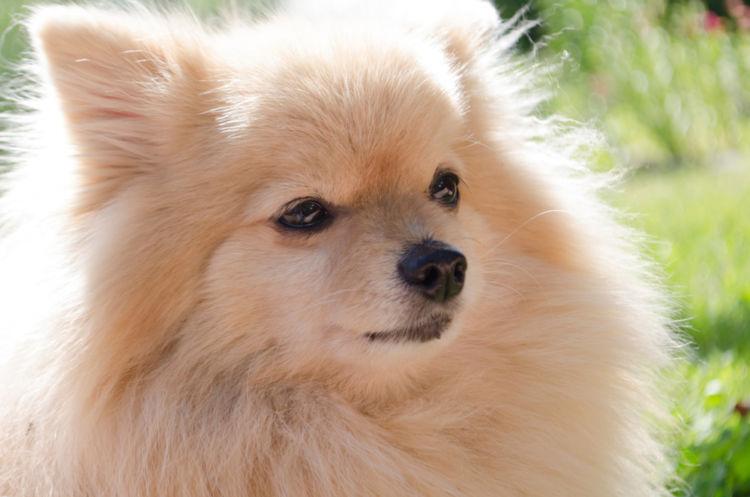 犬の毛包虫症(ニキビダニ症、アカラス症)【原因】