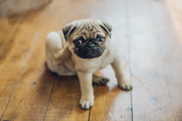 【獣医師監修】犬の「アトピー性皮膚炎」原因や症状、診断、治療法、予防対策は?