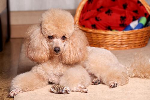 ミニチュア・プードルの外見の特徴:ふわふわモコモコ抱き心地抜群の小型犬