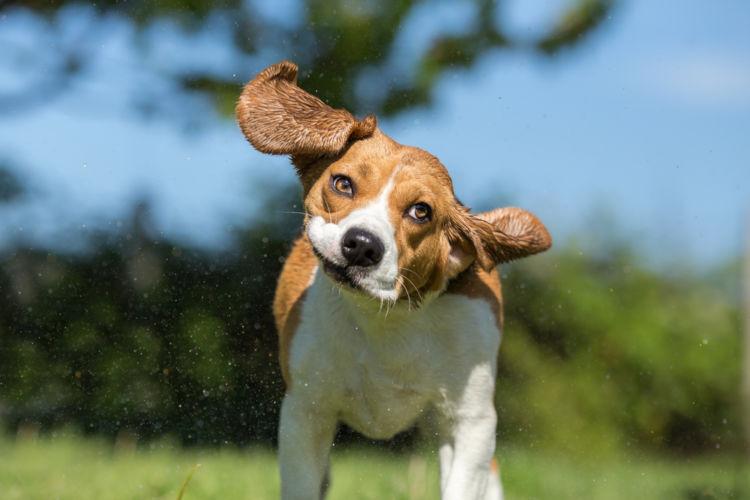 【獣医師監修】犬の頭(体全体)が震えている。考えられる原因や症状、主な病気は?