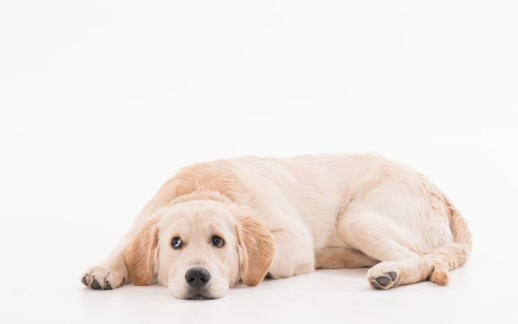 ゴールデン・レトリーバーがが高齢犬(シニア犬)になったら起こること