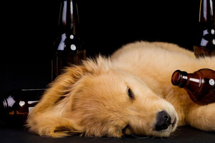 犬がビールを飲んでしまった場合の中毒症状は?