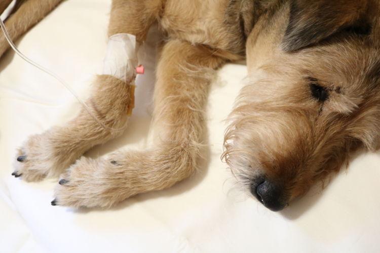 犬がビールを飲んでしまった場合の治療法や治療費は?
