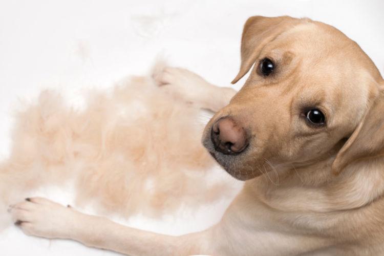 犬の強膜内シリコン義眼挿入術