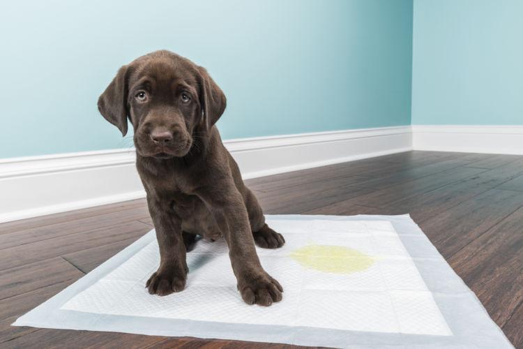 愛犬のおしっこが濃い黄色をしている