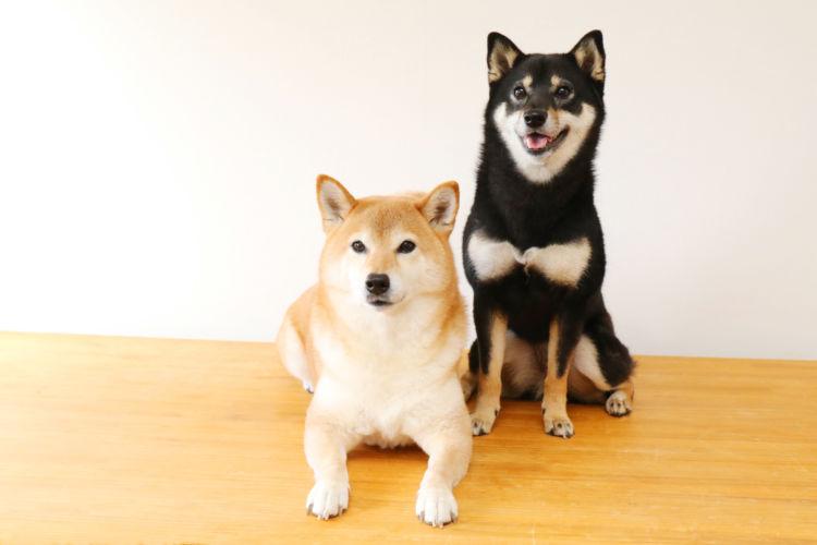 【獣医師監修】【柴犬】トイレ(排泄)のしつけ、トレーニングのポイントやコツ!