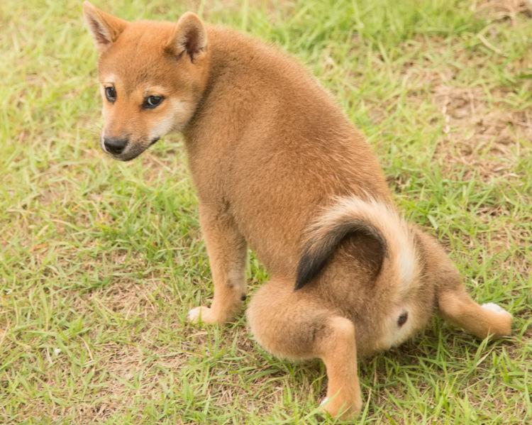 【柴犬】トイレトレーニングのやり直しはできる?