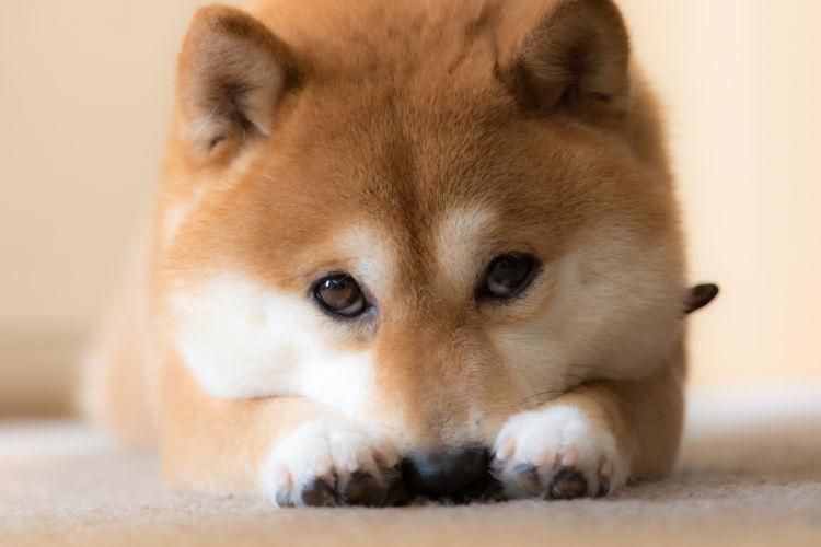 警戒心が強い柴犬