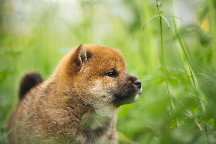 柴犬のトイレトレーニングの注意点②「子犬」と「成犬」、「オス」と「メス」の違い
