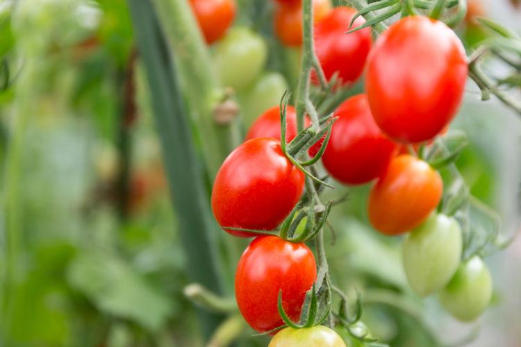 完熟前の青いトマト
