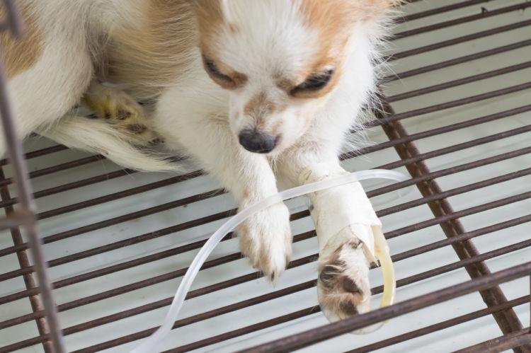 犬が緑茶を飲んでしまった場合の治療法や治療費は?