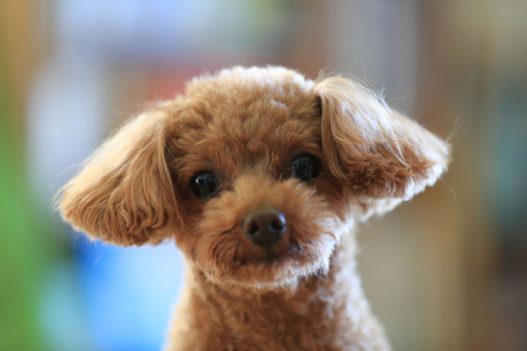 【獣医師監修】トイ・プードルの平均寿命は何歳?健康で長生きしてもらうには?
