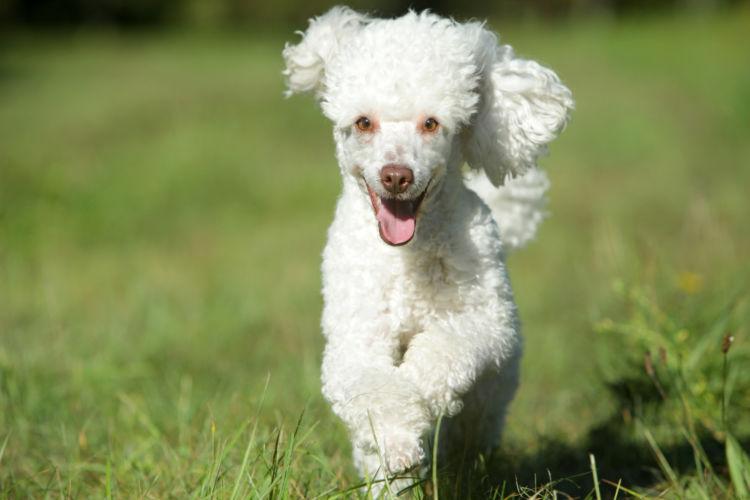 トイ・プードルが高齢犬(シニア犬)になったら起こること