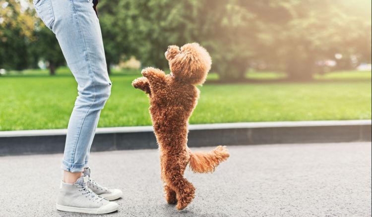 トイプードルは二足歩行が得意?