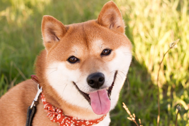 【獣医師監修】柴犬の平均寿命は何歳?寿命を縮める要因や認知症など注意すべき病気は?