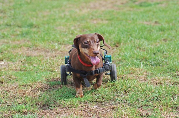 車椅子のミニチュア・ダックスフンド
