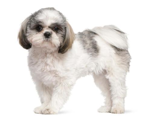 【獣医師監修】シーズーの性格や特徴、人懐っこい性格がキュート「小柄で愛情深い小型犬」