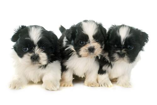 愛情深いシーズーは小型犬ながら落ち着いた性格