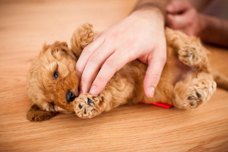 トイ・プードルのトイレトレーニングの注意点②「子犬」と「成犬」、「オス」と「メス」の違い
