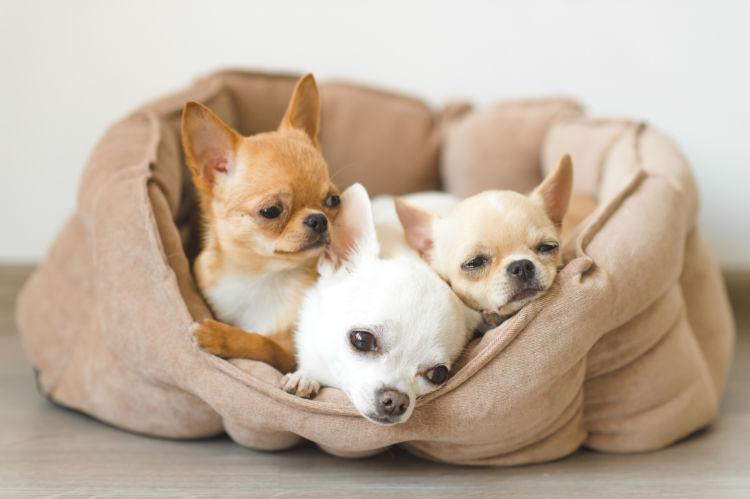 チワワのトイレトレーニングの注意点②「子犬」と「成犬」、「オス」と「メス」の違い