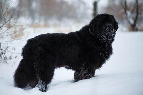 【獣医師監修】超大型犬のニューファンドランドの性格と飼い方「パワフルな水難救助犬!」