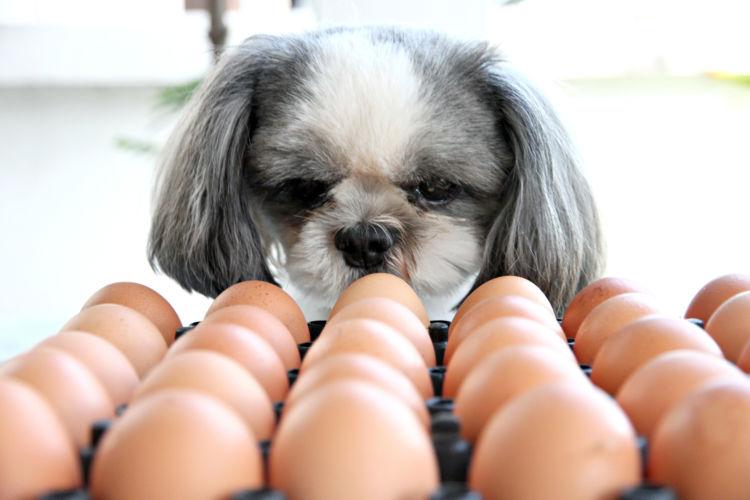 【獣医師監修】犬が卵(生卵)を食べても大丈夫?アレルギーや腎臓疾患がある場合は?