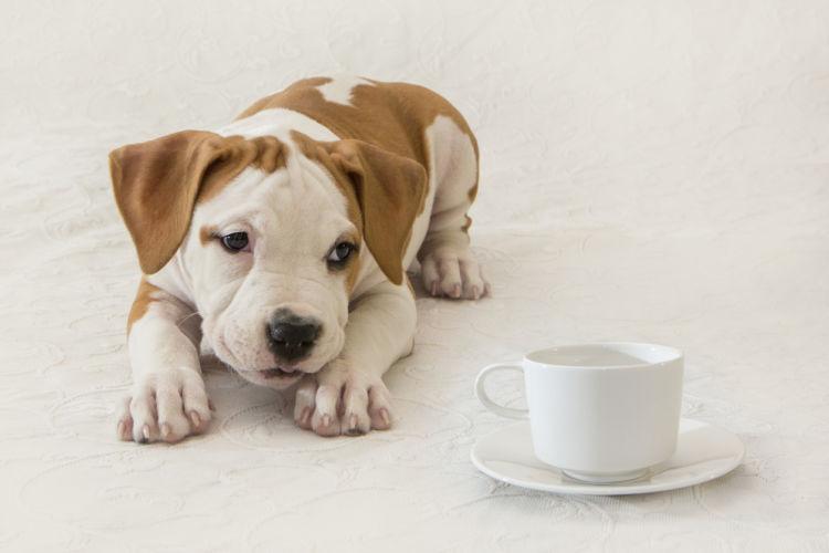 犬がカフェオレを誤飲した場合の対処法と応急処置は?
