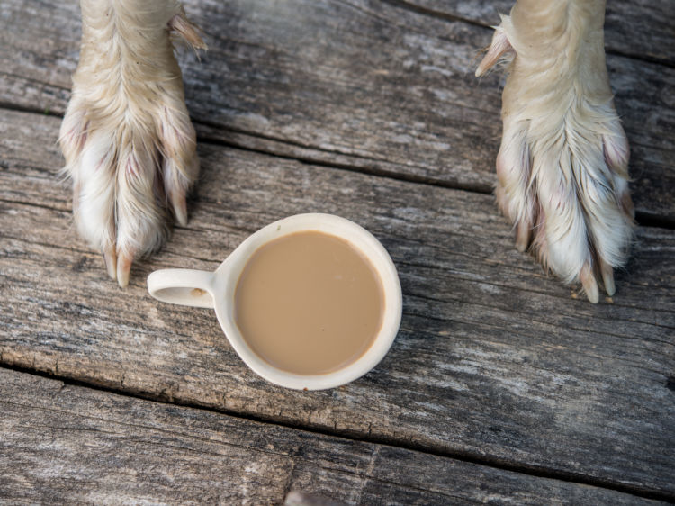 【獣医師監修】犬にミルクティーを与えてはダメ! 紅茶に含まれるカフェインに要注意!