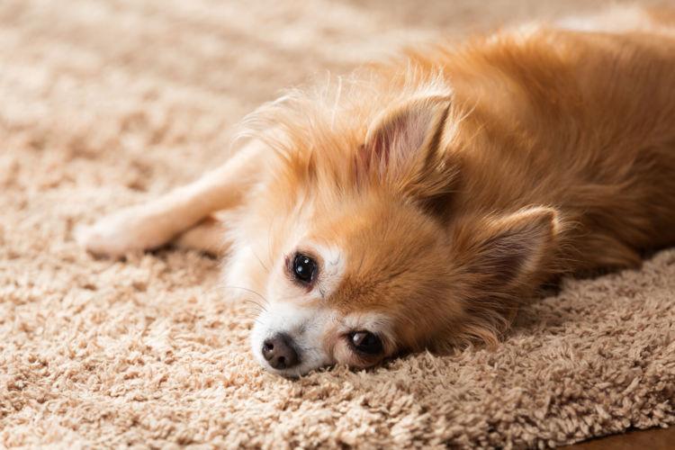 犬のカフェイン中毒の症状は?
