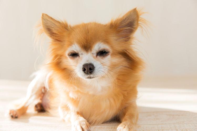 犬がカフェイン中毒になった場合の治療法や治療費の目安は?