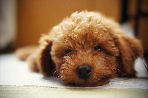 トイプードルはこうして誕生した!犬の改良にまつわる歴史