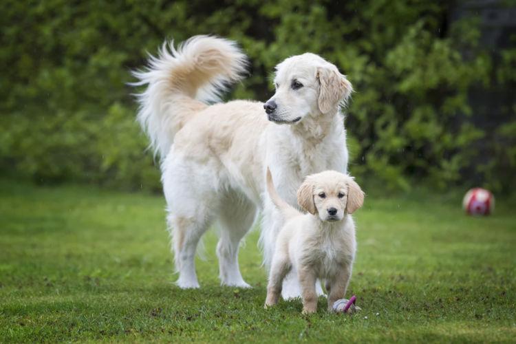 ゴールデン・レトリーバーのトイレトレーニングの注意点②「子犬」と「成犬」、「オス」と「メス」の違い