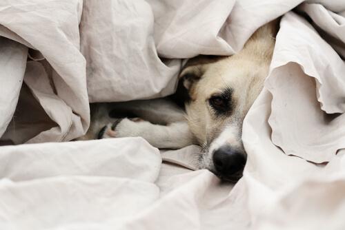 愛犬が、食後に自分の顔を飼い主のベッドにこすり付ける理由は?
