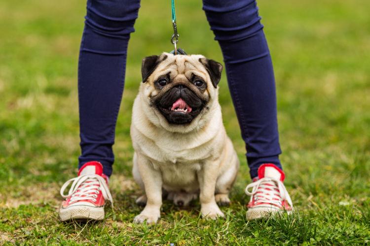 【獣医師監修】パグは短命?平均寿命や最高齢は何年?脳炎や皮膚病、老化を予防し、寿命を延ばす秘訣!