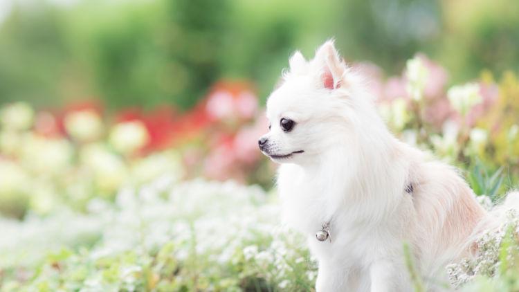 犬の寿命①【チワワ】