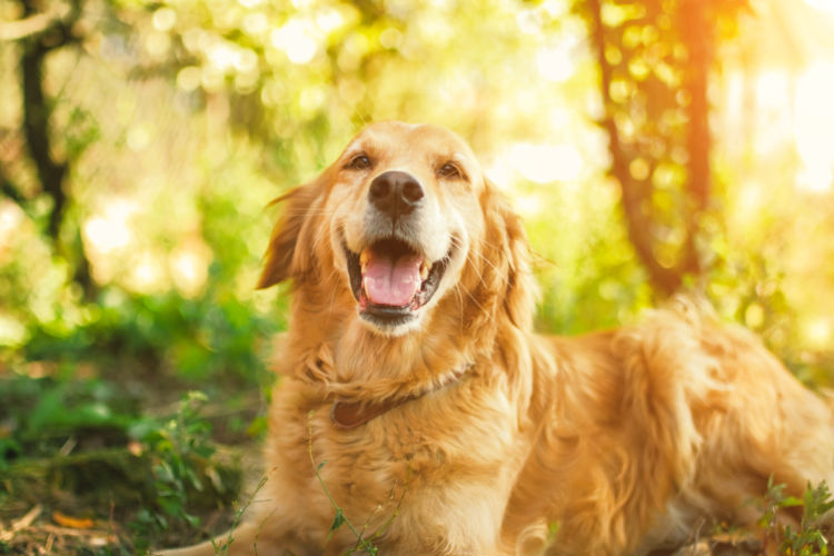 犬の寿命④【ゴールデン・レトリーバー】