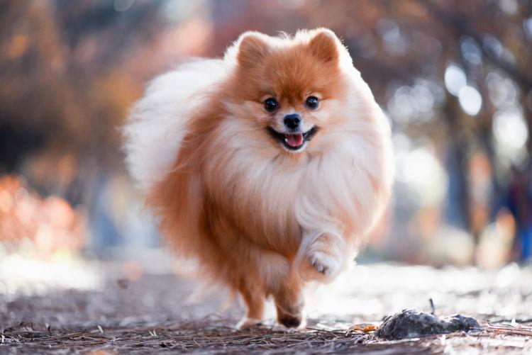 犬の寿命⑦【ポメラニアン】