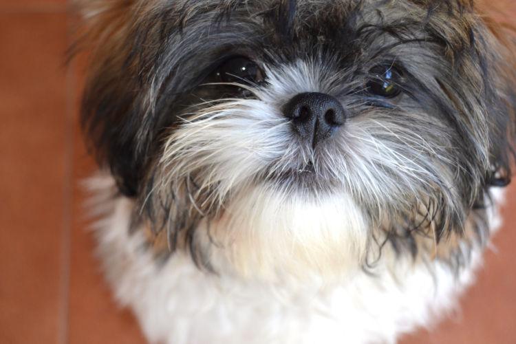 犬の寿命⑧【シー・ズー】