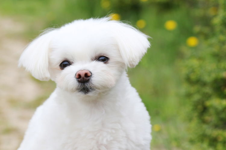 犬の寿命⑨【マルチーズ】