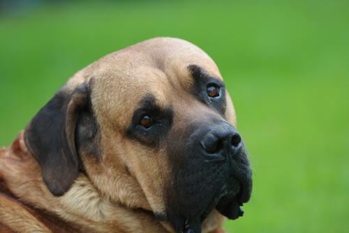 【獣医師監修】土佐犬(闘犬)の性格や特徴、飼い方。歴史、寿命、主な病気や価格は?