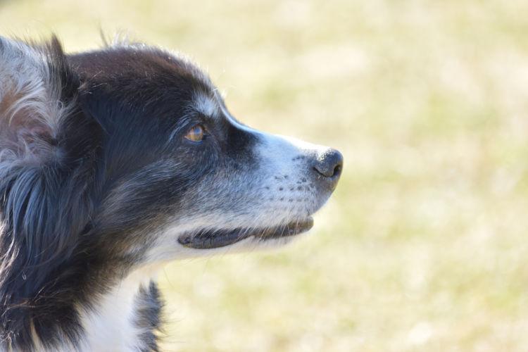 ボーダー・コリーが高齢犬(シニア犬)になったら起こること