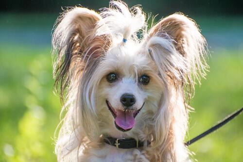 飼い主のまねをしている?犬が人間のように笑う、3つの理由