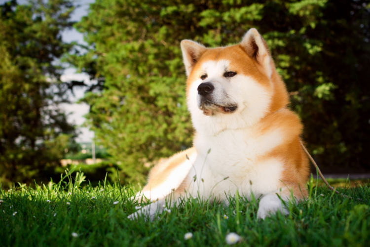 秋田犬の平均寿命を人間に換算すると何歳?