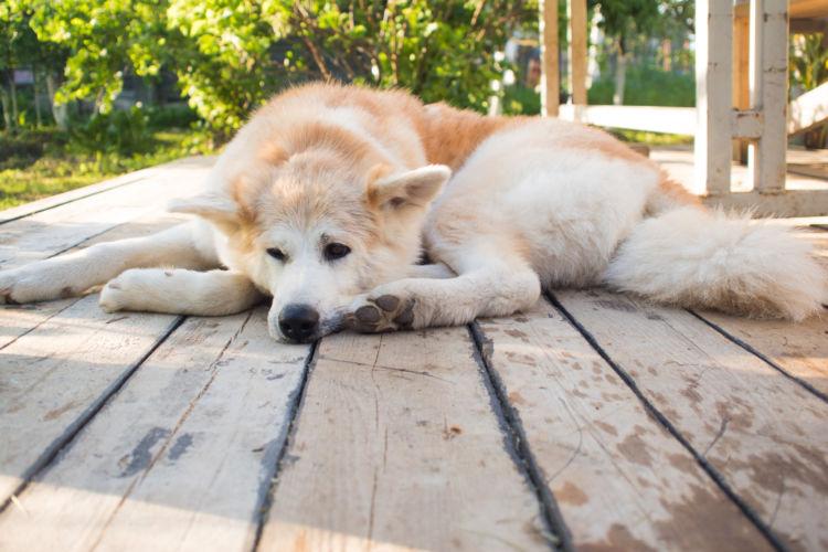 秋田犬が高齢犬(老犬)になったら起こることと対処法
