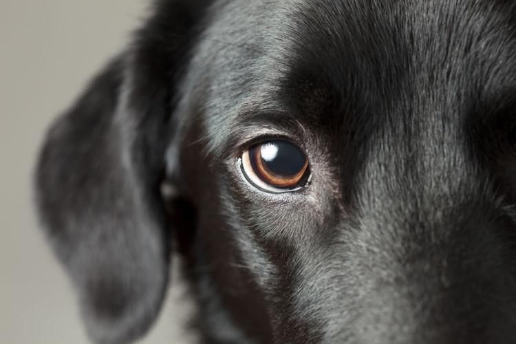 高齢犬(老犬)のラブラドール・レトリーバーに起こりやすいこと