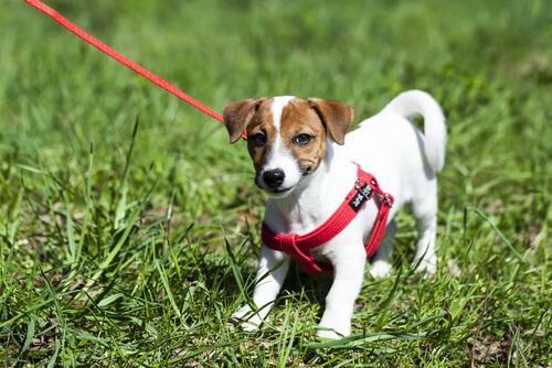 首輪と胴輪、どっちが合っている?愛犬のために知っておきたいメリットとデメリット